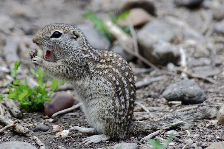 Mexican ground squirrel Mexican Ground Squirrel Spermophilus mexicanus NatureWorks