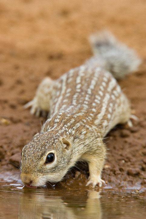 Mexican ground squirrel Mexican Ground Squirrel Spermophilus mexicanus