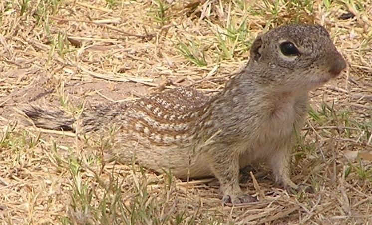 Mexican ground squirrel The News For Squirrels Squirrels of Texas The Mexican Ground Squirrel