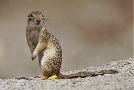 Mexican ground squirrel Mexican Ground Squirrel