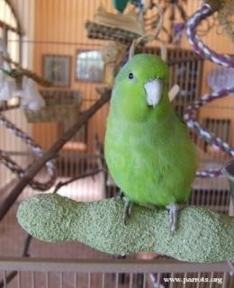 Mexican parrotlet Mexican Parrotlet Forpus cyanopygius Parrot Encyclopedia