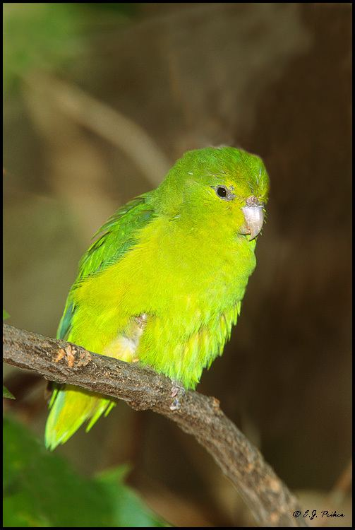 Mexican parrotlet Mexican Parrotlet Page