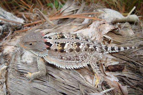 Mexican Plateau horned lizard httpsstaticinaturalistorgphotos371178mediu