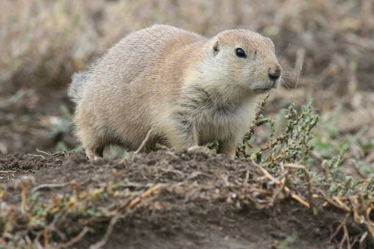 Mexican prairie dog Living on Earth Can Prairie Dogs Save Mexico39s Prairie From the Desert