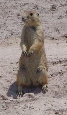 Mexican prairie dog httpsuploadwikimediaorgwikipediacommonsthu