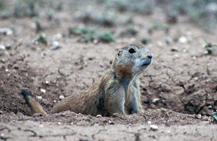 Mexican prairie dog Mexican Prairie Dog Cynomys mexicanus