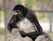 Mexican spider monkey httpsuploadwikimediaorgwikipediacommonsthu
