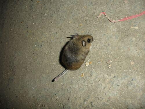 Mexican volcano mouse httpsstaticinaturalistorgphotos1078465medi