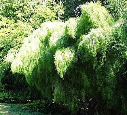 Mexican weeping bamboo Mexican Weeping Bamboo Bamboos Wholesale