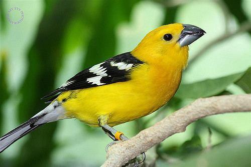 Mexican yellow grosbeak Yellow Grosbeak or Mexican Yellow Grosbeak Pheucticus chry Flickr