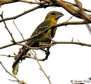 Mexican yellow grosbeak More on Pheucticus chrysopeplus Mexican Yellow Grosbeak