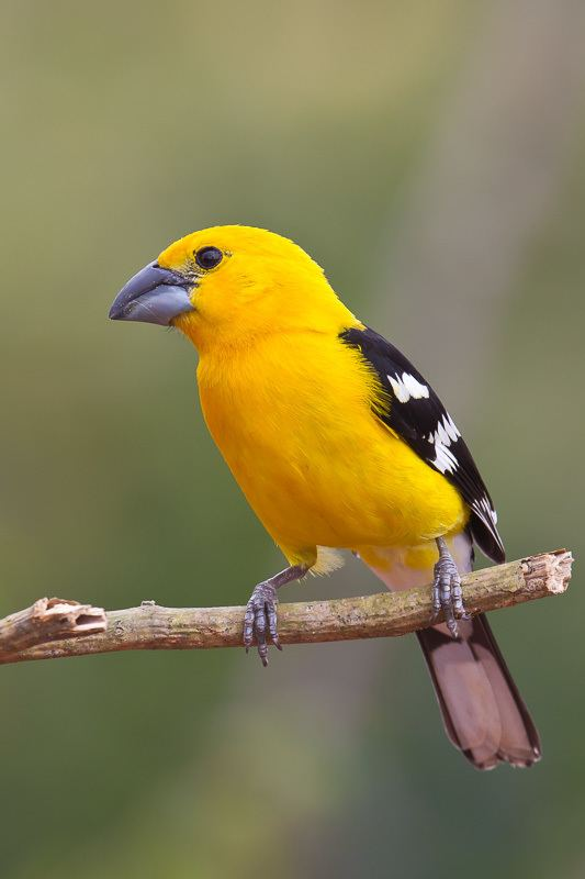 Mexican yellow grosbeak Yellow Grosbeak Pheucticus chrysopeplus