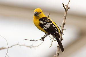 Mexican yellow grosbeak Mexican yellow grosbeak Wikipedia