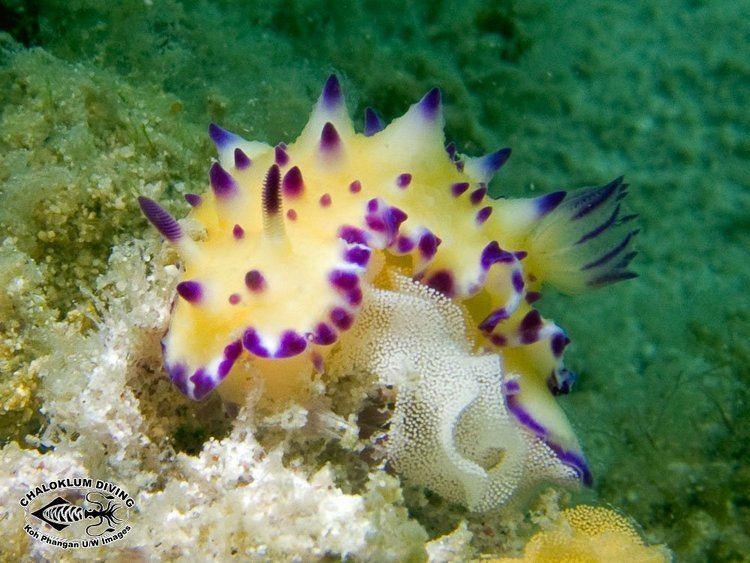 Mexichromis Mexichromis multituberculata Chaloklum Diving Koh Phangan Thailand
