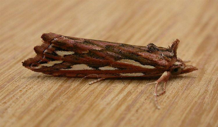 Meyrickella torquesauria
