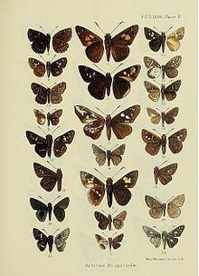 Meza (genus) httpsuploadwikimediaorgwikipediacommonsthu