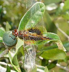 Miathyria httpsuploadwikimediaorgwikipediacommonsthu