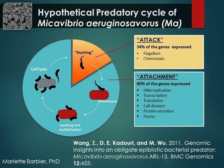 Micavibrio aeruginosavorus Medical Microbiology Predatory Bacteria Alternative to Antibiotics