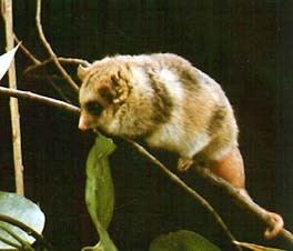 Microbiotheria Origin Diversity and Ecology of Marsupials