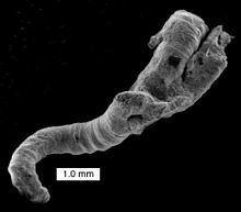 Microconchida httpsuploadwikimediaorgwikipediacommonsthu