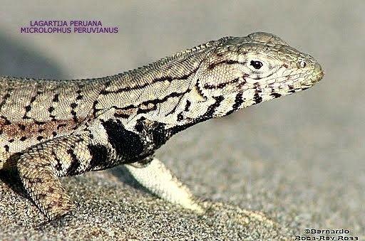 Microlophus peruvianus ANIMALES Y VEGETALES DE PERU Lagartija Peruana Microlophus peruvianus