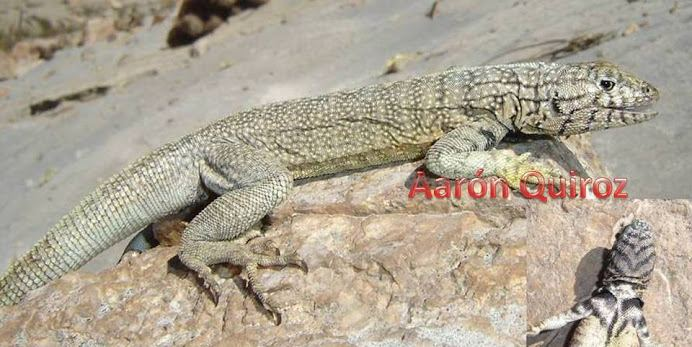 Microlophus peruvianus Microlophus peruvianus The Reptile Database