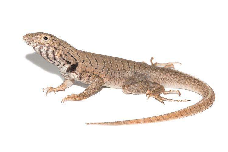 Microlophus peruvianus ReptiliaWebEcuador Ficha de la especie