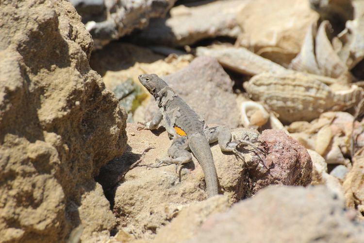 Microlophus peruvianus Peru Pacific Iguana Microlophus peruvianus Ica Peru in Flickr