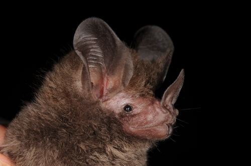 Micronycteris little bigeared bat observed by laguirre on January 17 2012