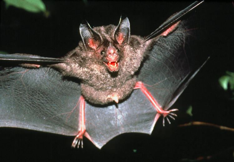 Micronycteris Micronycteris Bat Photograph by Dr Morley Read