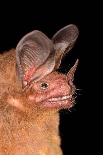 Micronycteris Common Bigeared Bat observed by svaldvard on December 21 2011