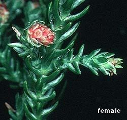 Microstrobos Australian Conifers
