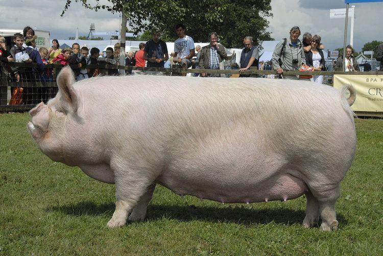 строительной практике самая большая свинья в мире фото данном