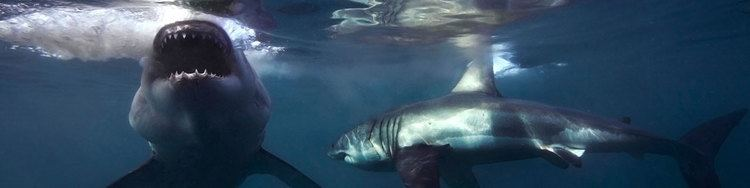 Mike Rutzen Shark Cage Diving Great White Mike Rutzen Shark