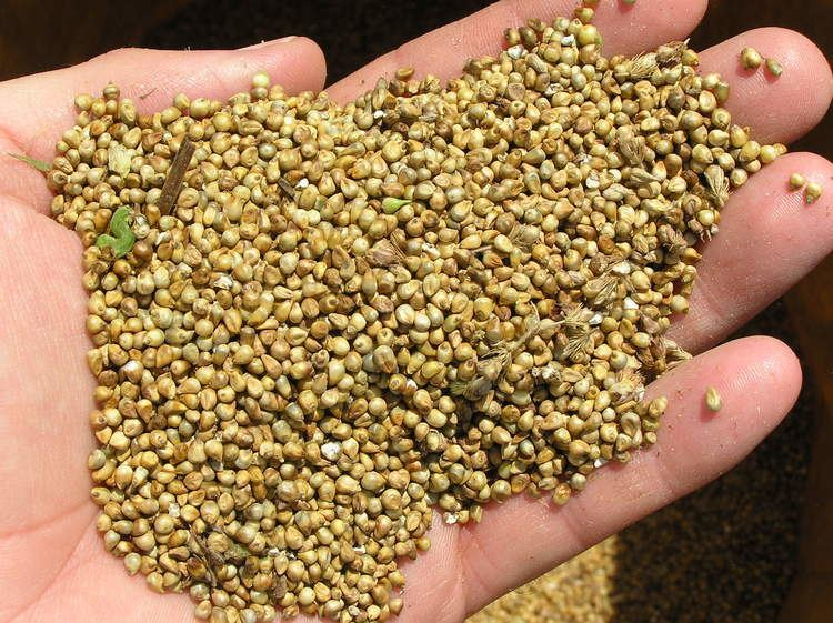 Millet Millet Nutritional Benefits AncientGrainscom