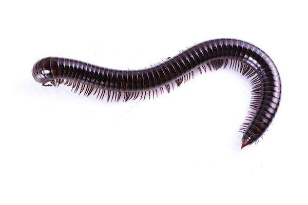 Millipede How to get rid of millipedes PestXpert PestXpert