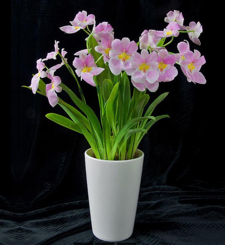Miltonia Plants amp Flowers Miltonia vexillaria var leopoldii