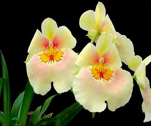 Miltonia Miltonia and Miltoniopsis Orchid Care