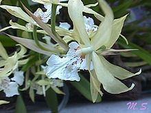 Miltonia flavescens httpsuploadwikimediaorgwikipediacommonsthu