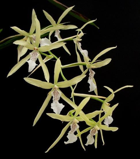 Miltonia flavescens Miltonia flavescens presented by Orchids Limited