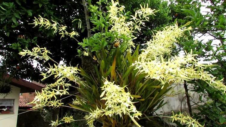 Miltonia flavescens Miltonia flavescens mais de 30 hastes florais YouTube