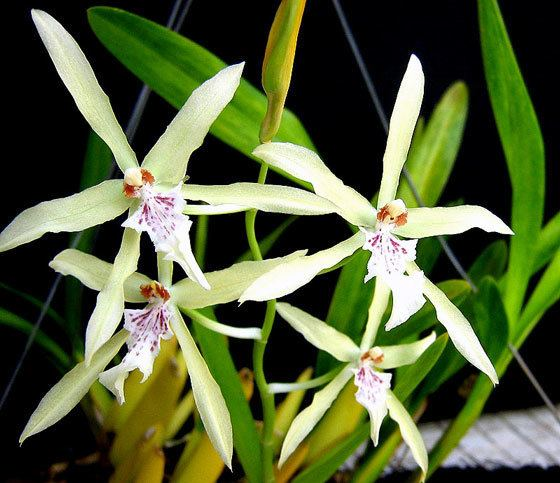 Miltonia flavescens Orchids from Green Drop Home Orchids Miltonia Flavescens