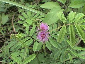 Mimosa diplotricha httpsuploadwikimediaorgwikipediacommonsthu