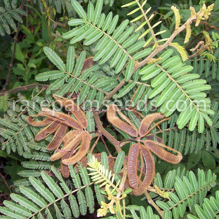 Mimosa pigra Mimosa pigra buy seeds at rarepalmseedscom