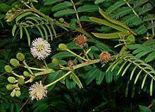 Mimosa pigra httpsuploadwikimediaorgwikipediacommonsthu