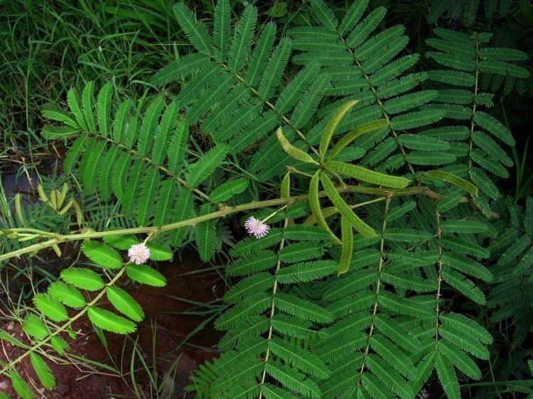 Mimosa pigra Mimosa pigra Fabaceae image 33542 at PlantSystematicsorg