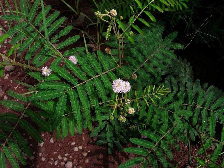 Mimosa pigra Mimosa pigra Fabaceae image 33541 at PlantSystematicsorg