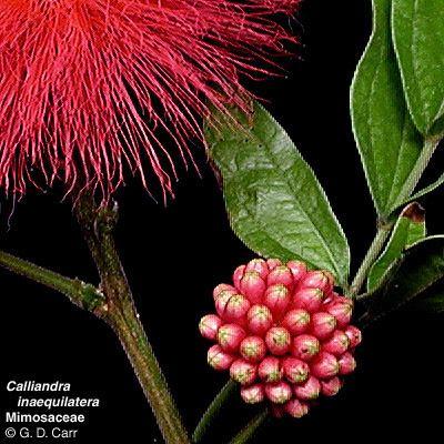 Mimosoideae Flowering Plant Families UH Botany
