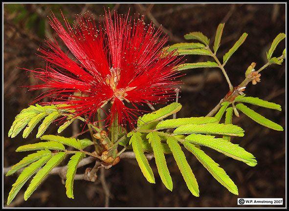Mimosoideae Arboretum Images 5