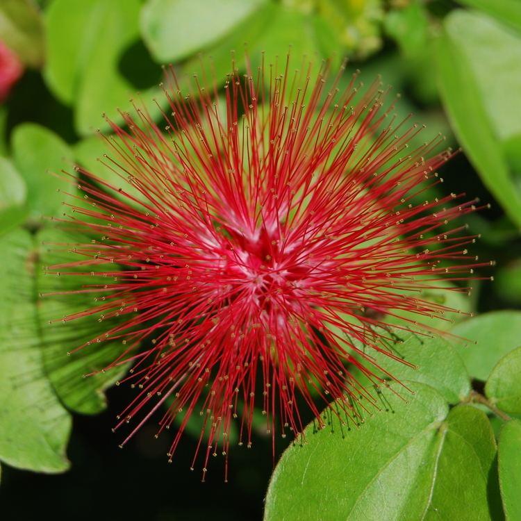 Mimosoideae Mimosoideae Wikipedia